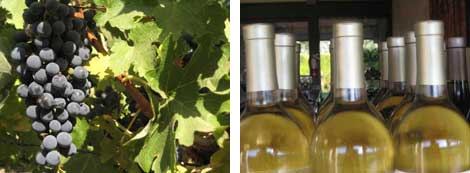 Image of wine grapes on the vine and an image of rows of white bottles of wine close up