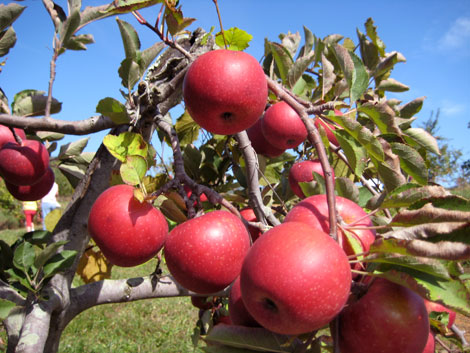 Up close photo of red apples on a tree in Syria, VA